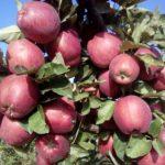 crveni-delises-jabuka-rasadnik-dionis