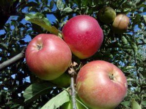 florina-jabuka-rasadnik-dionis