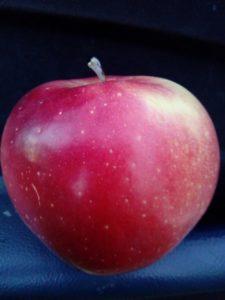 gloster-jabuka