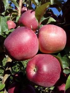 gloster-jabuka-rasadnik-dionis