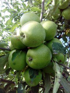 greni-smit-jabuka-dionis-rasadnik