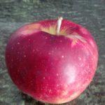 jabuka-florina