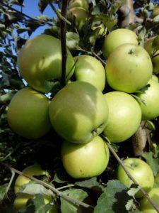 jabuka-mucu-rasadnik-dionis
