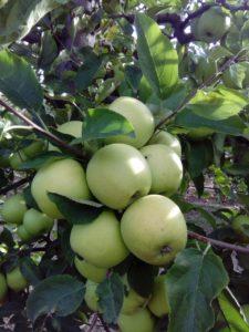 jabuka-zlatni-delises-dionis
