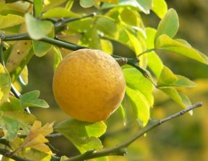 sibirski-limun