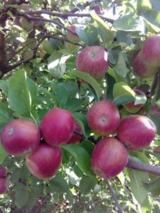 sumatovka-jabuka-rasadnik-dionis