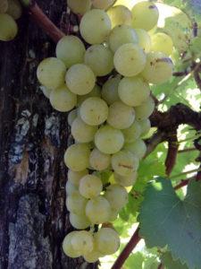 bela tamnjanika lozni kalem vinska sorta
