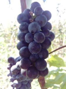 vranac lozni kalem vinska sorta