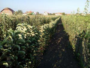 sadnice-stubastih-jabuka