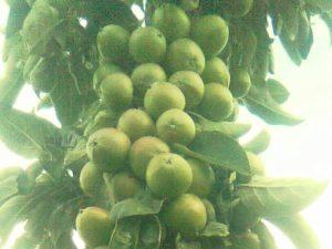 stubasta jabuka zeleni dragulj