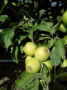 stubasta jabuka djerdan vocne sadnice